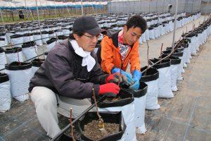 ふくやま・ブドウの苗木800本を研修生が育てる