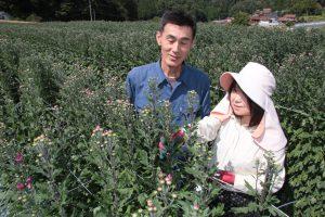 ふくやま・神石高原町で彼岸用の菊が出荷ピーク