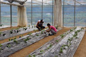 呉・定植する研修生と受け入れ農家