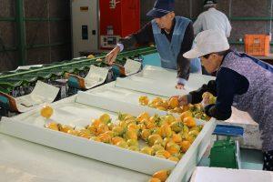 庄原・西条柿の出荷始まる