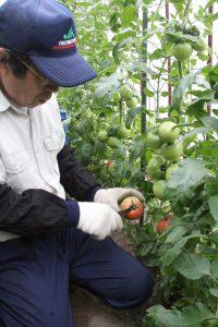 おのみち・トマト出荷開始