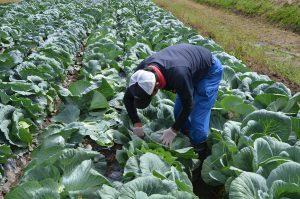 広島市・農業参入企業によるキャベツの初出荷開始1