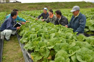 広島中央・ミニハクサイ巡回・収穫